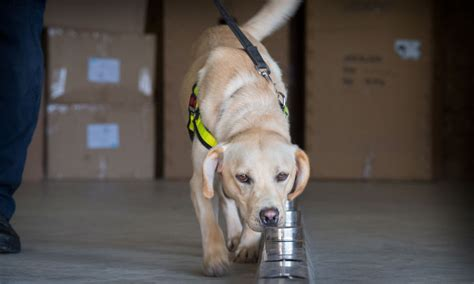 Breaking new ground: training explosive detection dogs for