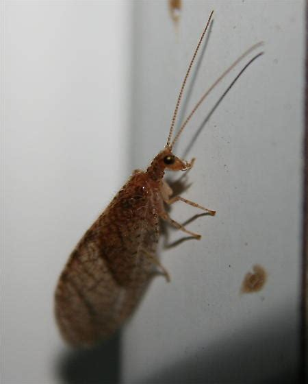 lacewing - Wiktionary